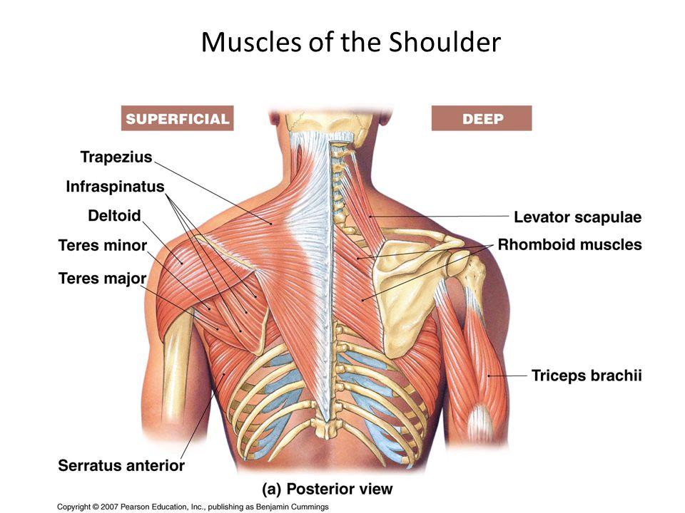 Major Skeletal Muscles Ppt Video Online Download