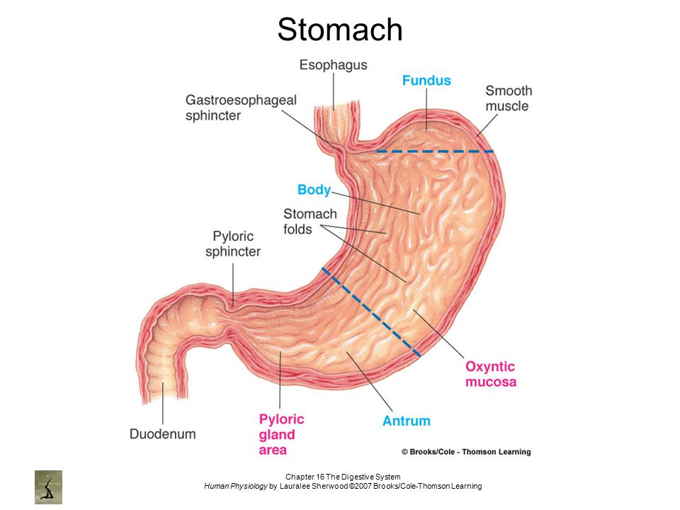 Chapter 16 The Digestive System Ppt Video Online Download