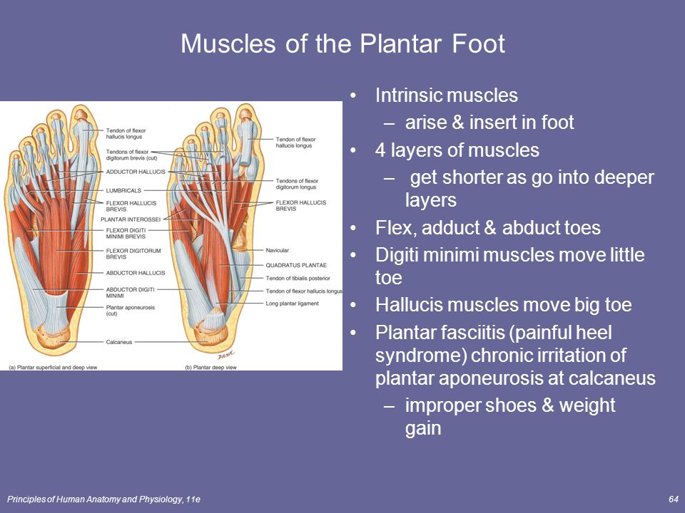 The Muscular System Lecture Outline Ppt Video Online Download