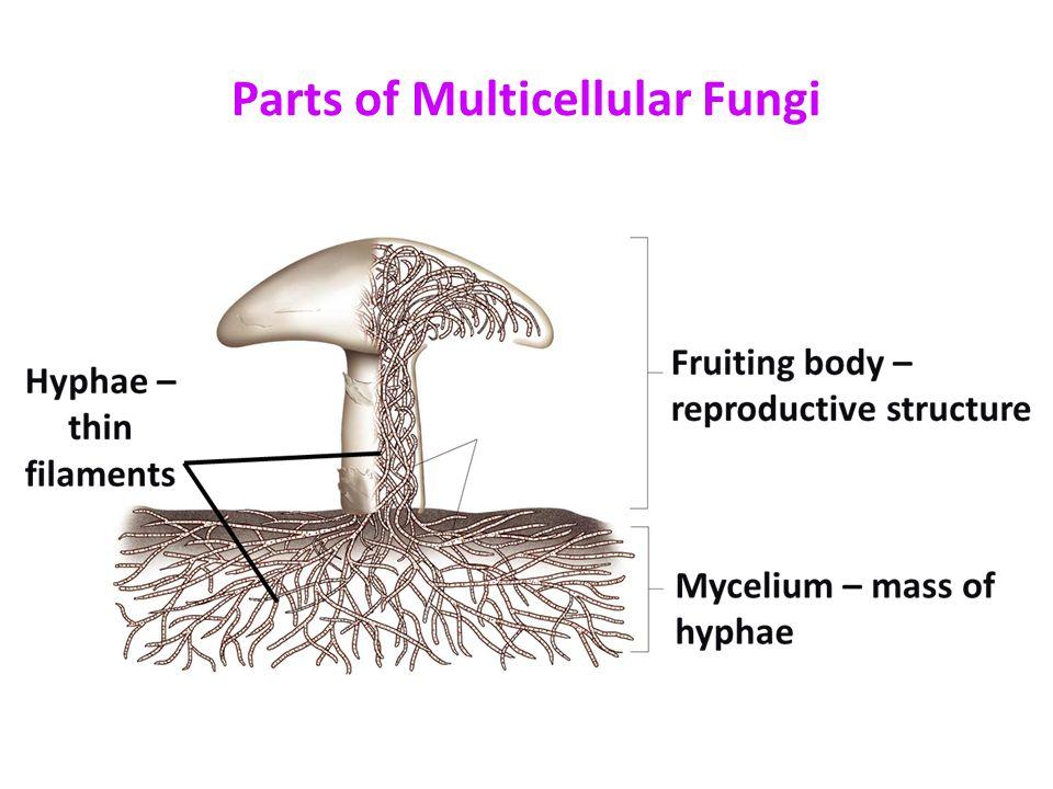 Kingdom Fungi Ppt Video Online Download