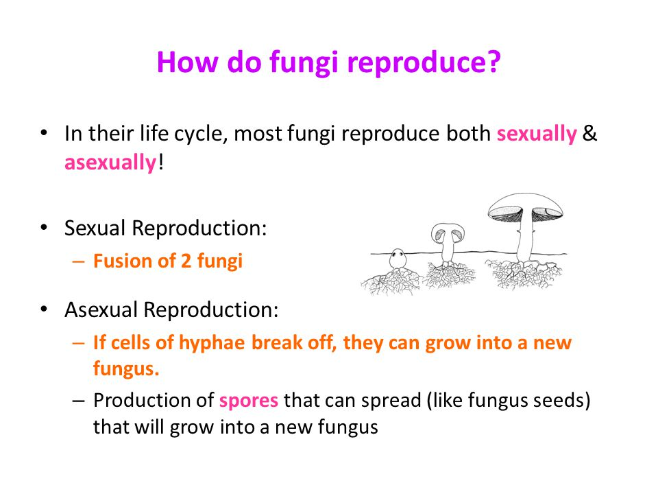 How fungi reproduce asexually