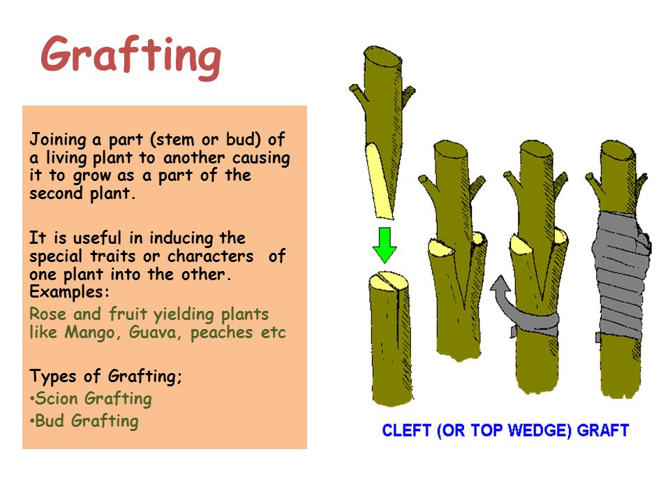 Asexual plant propagation cleft grafting techniques