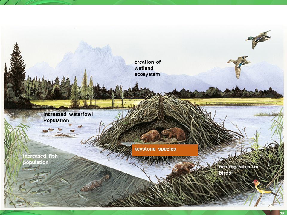 creation of wetland. ecosystem. increased waterfowl. Population. increased fish. population. nesting sites for birds.