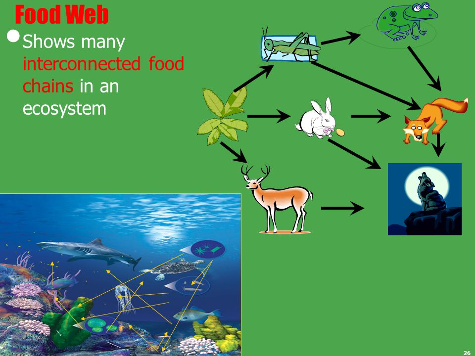 Food Web Shows many interconnected food chains in an ecosystem