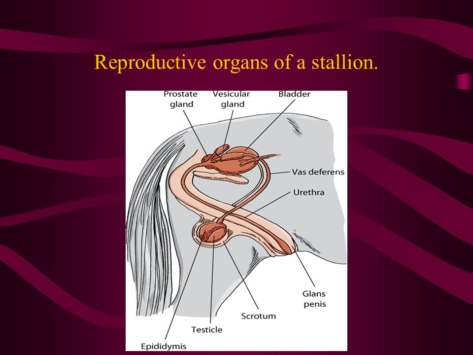 Anatomy and Physiology of Animal Reproductive Systems - ppt video ...