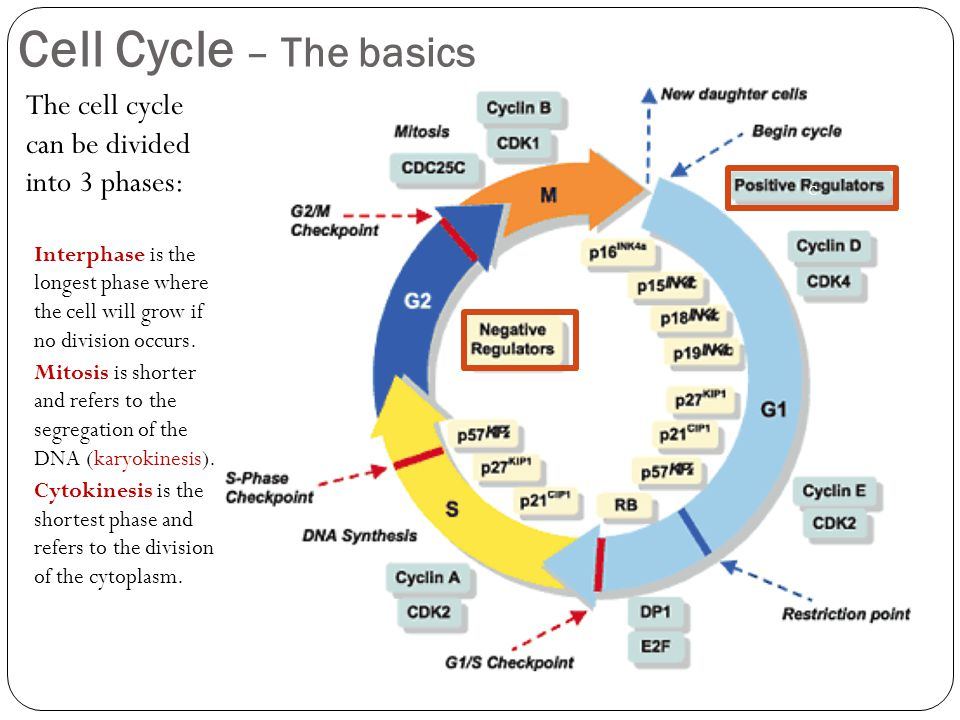 Cell cycle regulation ppt youtube.