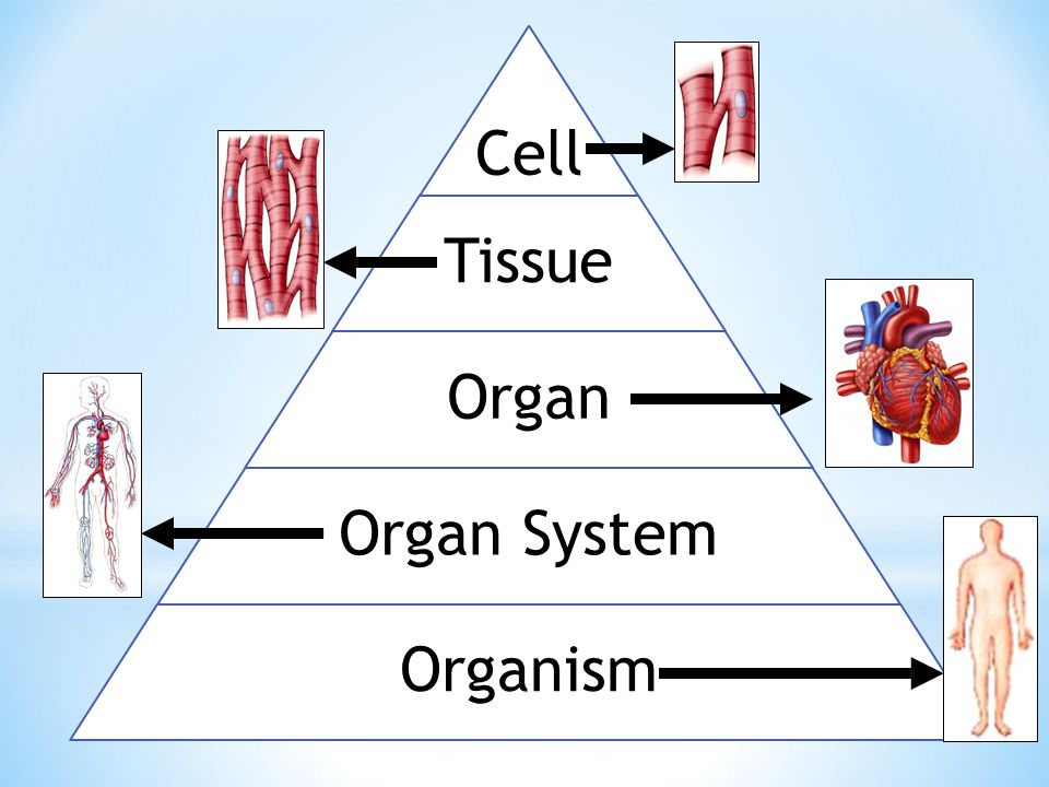 Essential Question How Do Cells Tissues Organs And Organ Systems