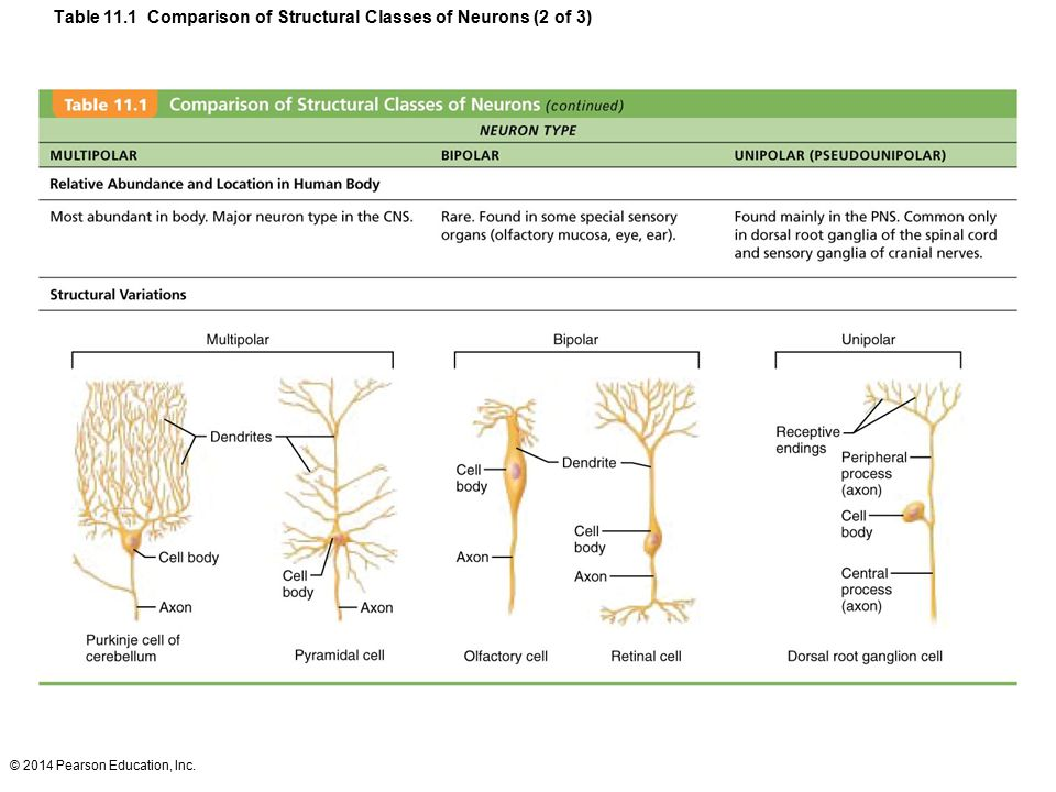 Table 11.1 Comparison of Structural Classes of Neurons (2 of 3)