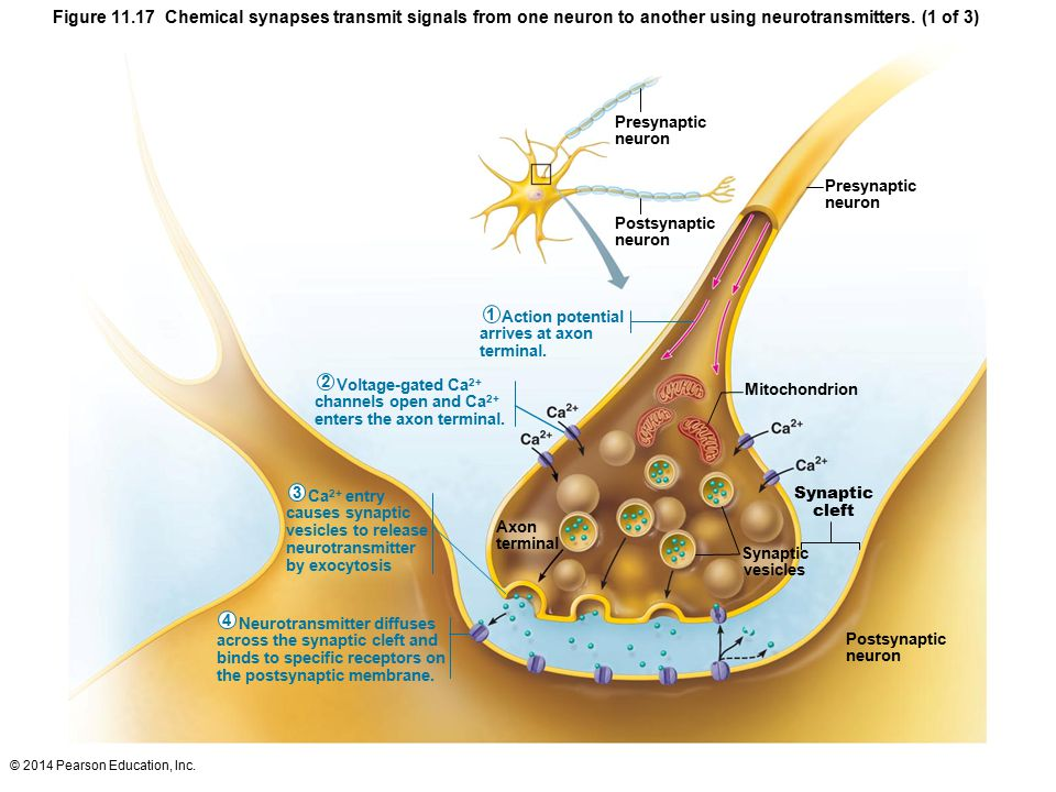 Figure Chemical synapses transmit signals from one neuron to another using neurotransmitters. (1 of 3)