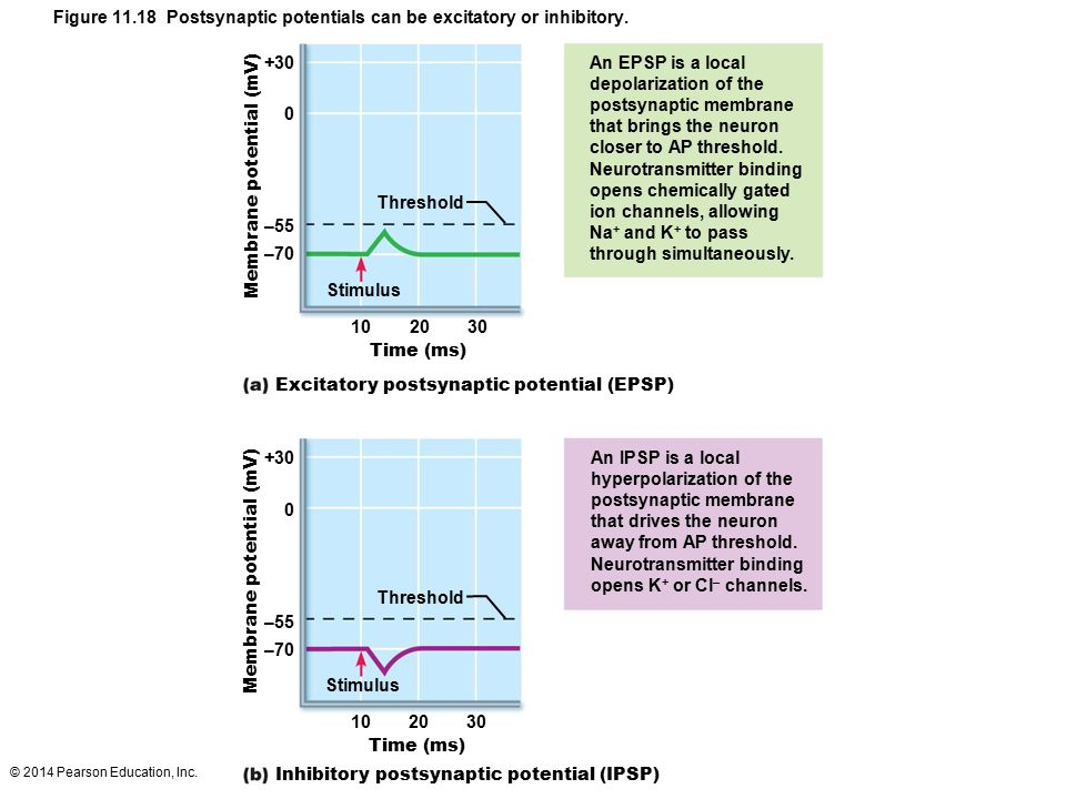 Figure Postsynaptic potentials can be excitatory or inhibitory.