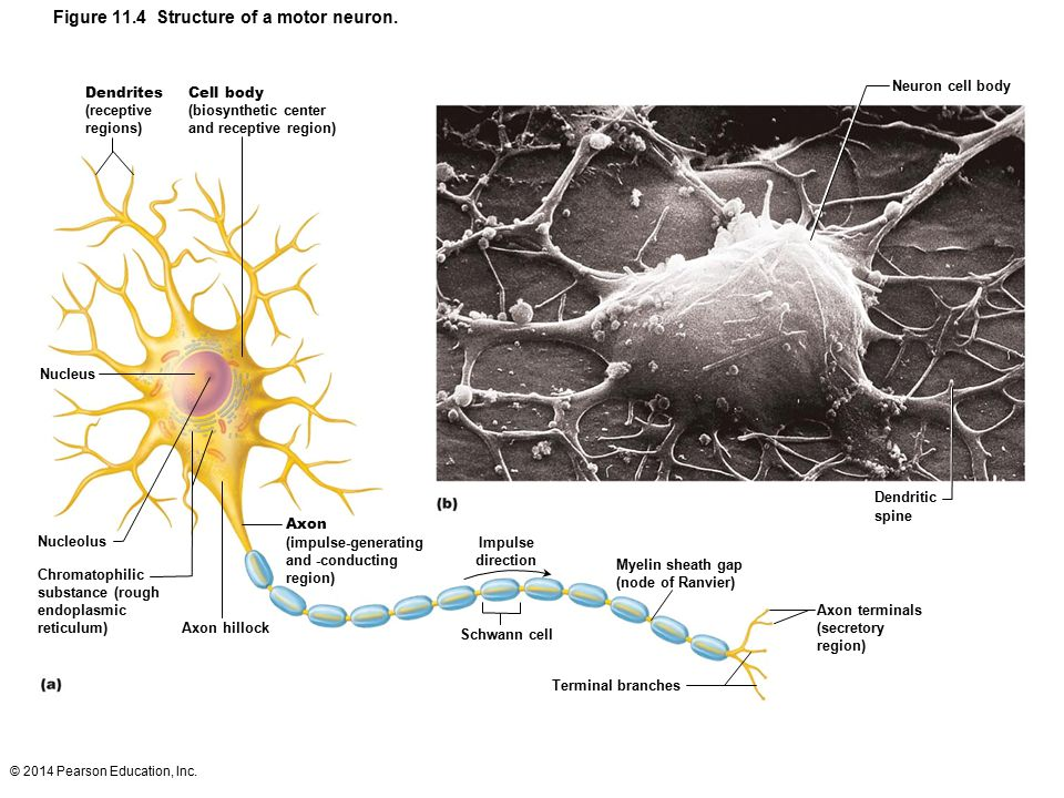 Figure 11.4 Structure of a motor neuron.