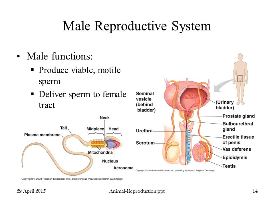 Animal Male Reproductive System Diagram - DIY Enthusiasts Wiring ...