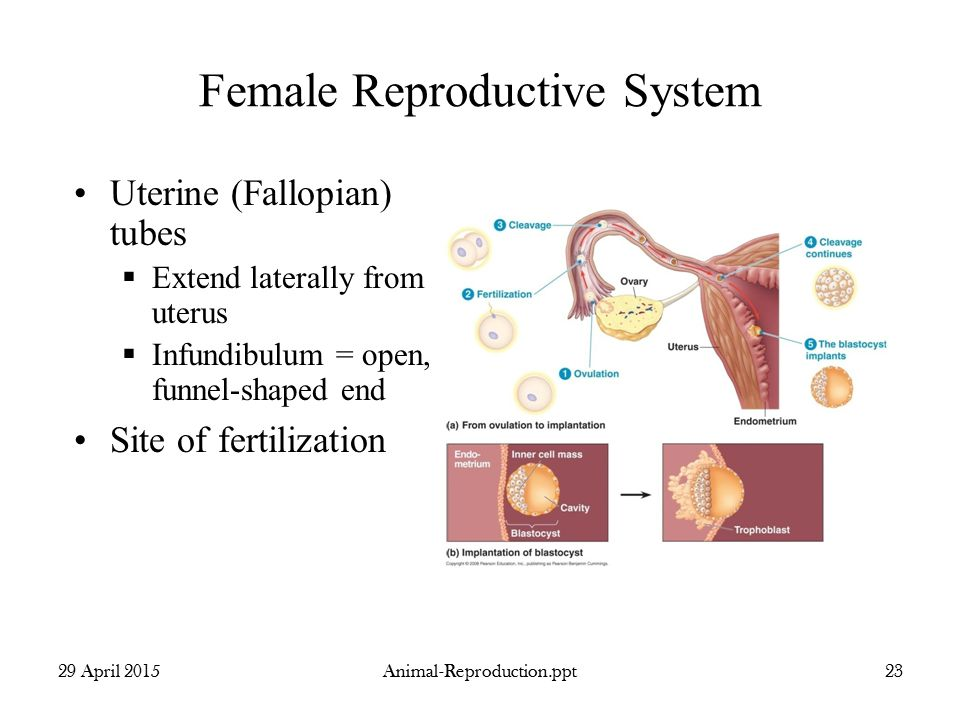The female reproductive system of human youtube.