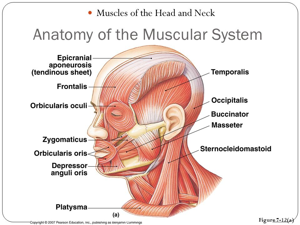 ANATOMY OF THE MUSCULAR SYSTEM - ppt video online download
