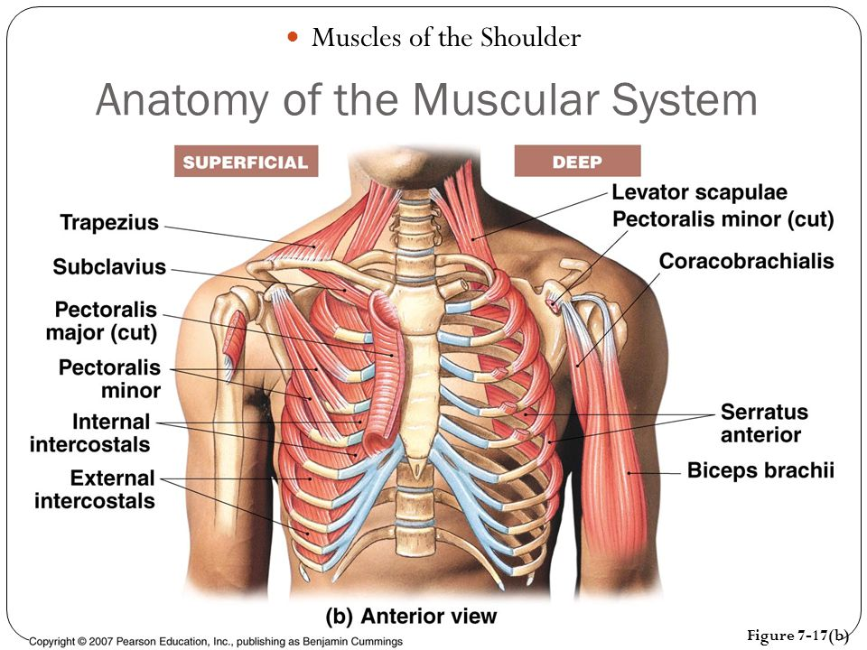 Anatomy Of The Muscular System Ppt Video Online Download