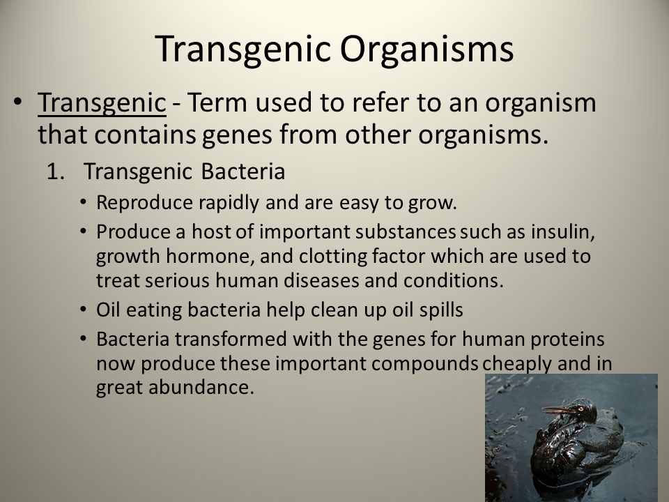 Transgenic Organisms Transgenic - Term used to refer to an organism that contains genes from other organisms.