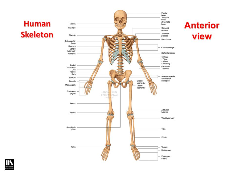 Exercise Science Section 2 The Skeletal System Ppt Download