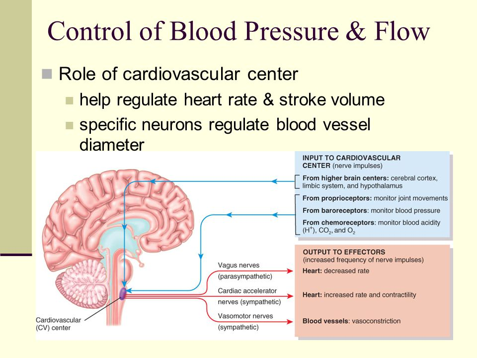 Chapter 21 The Cardiovascular System Blood Vessels And Hemodynamics