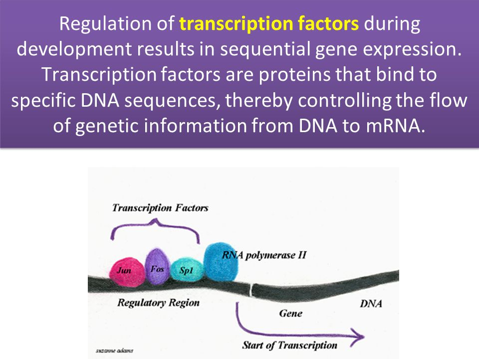 Regulation of transcription factors during development results in sequential gene expression.