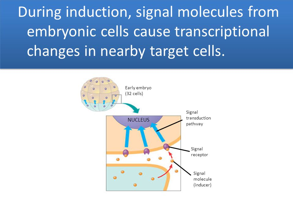 During induction, signal molecules from embryonic cells cause transcriptional changes in nearby target cells.