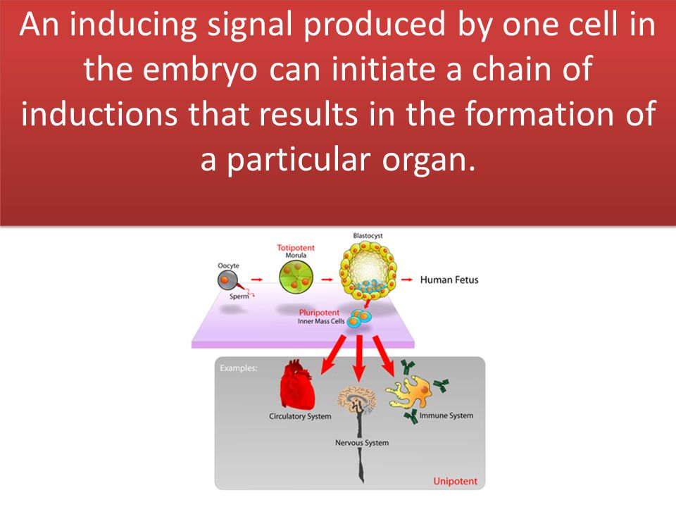 An inducing signal produced by one cell in the embryo can initiate a chain of inductions that results in the formation of a particular organ.