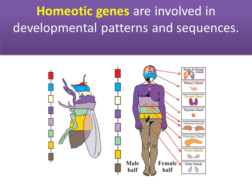 Homeotic genes are involved in developmental patterns and sequences.