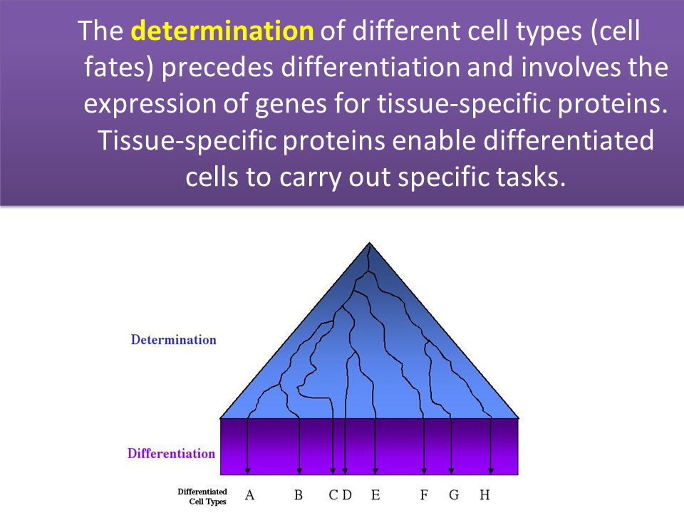The determination of different cell types (cell fates) precedes differentiation and involves the expression of genes for tissue-specific proteins.
