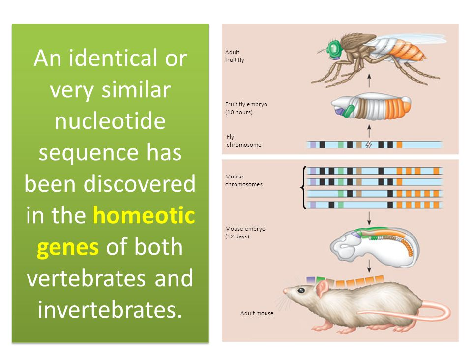 An identical or very similar nucleotide sequence has been discovered in the homeotic genes of both vertebrates and invertebrates.