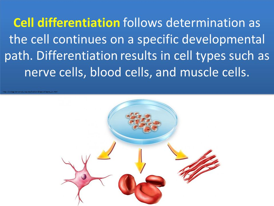 Cell differentiation follows determination as the cell continues on a specific developmental path. Differentiation results in cell types such as nerve cells, blood cells, and muscle cells.