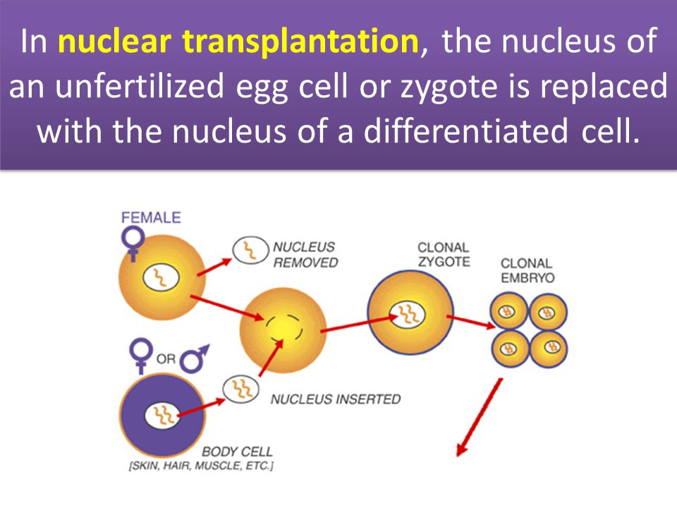 In nuclear transplantation, the nucleus of an unfertilized egg cell or zygote is replaced with the nucleus of a differentiated cell.