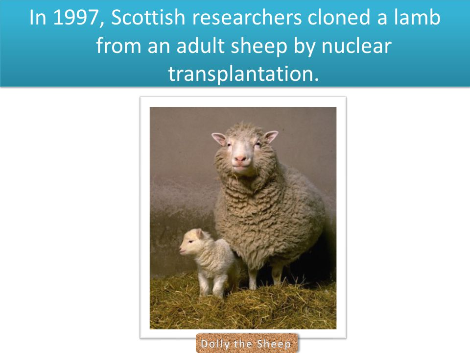 In 1997, Scottish researchers cloned a lamb from an adult sheep by nuclear transplantation.