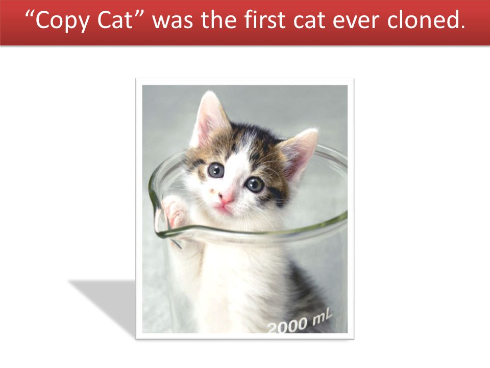 Copy Cat was the first cat ever cloned.