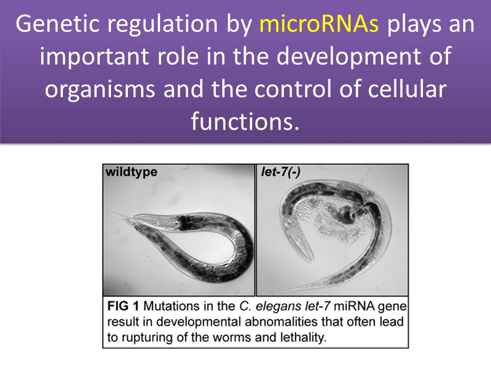 Genetic regulation by microRNAs plays an important role in the development of organisms and the control of cellular functions.