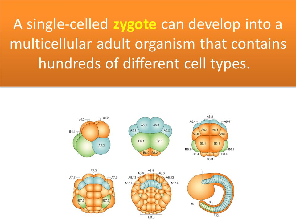 A single-celled zygote can develop into a multicellular adult organism that contains hundreds of different cell types.