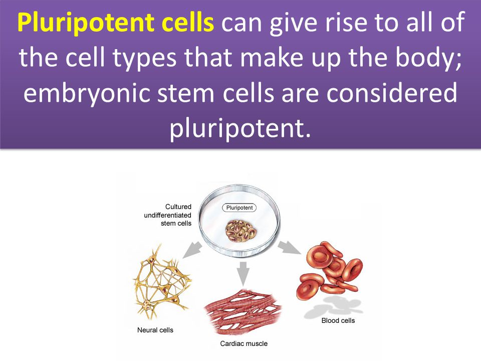 Pluripotent cells can give rise to all of the cell types that make up the body; embryonic stem cells are considered pluripotent.