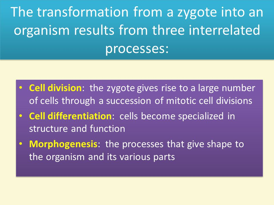 The transformation from a zygote into an organism results from three interrelated processes: