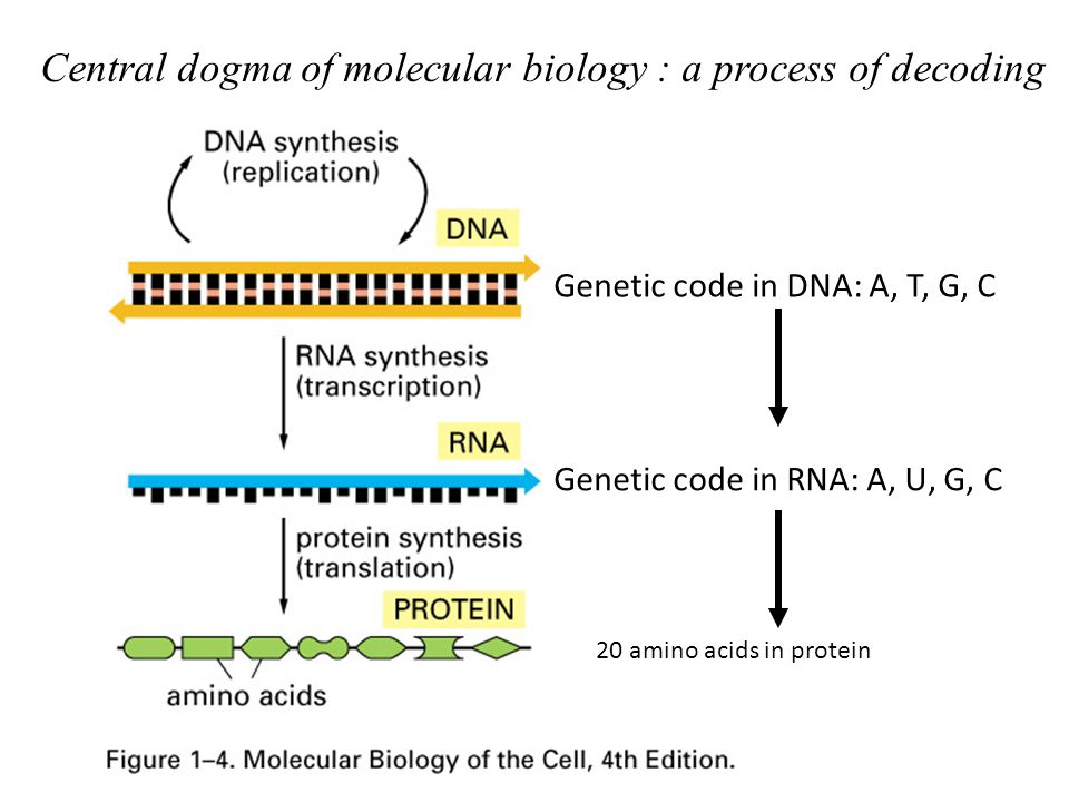 Lecture 3 What Is A Gene Central Dogma Ppt Video Online