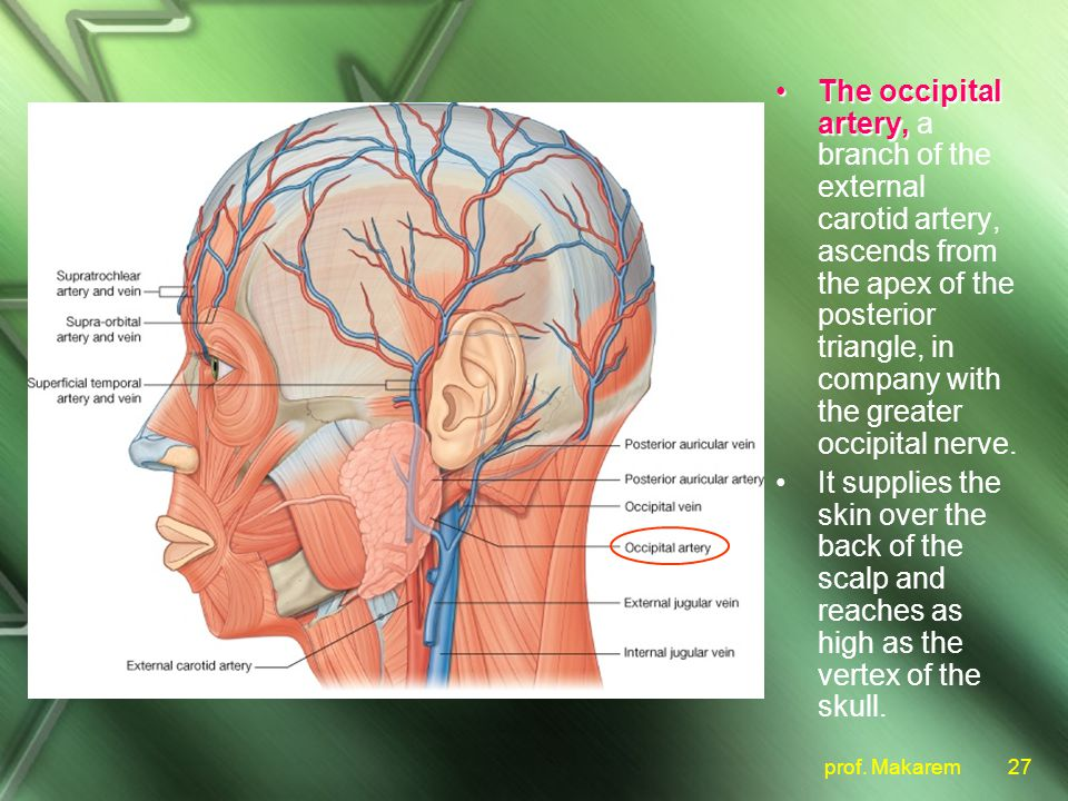 artery diagram scalp index listing of wiring diagrams Lymph Node Diagram scalp ppt video online downloadthe occipital artery, a branch of the external carotid artery,