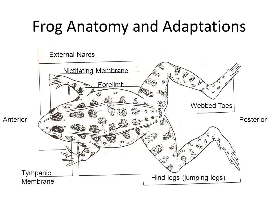 Frog Nictitating Membrane Diagram - Wiring Diagram Database •