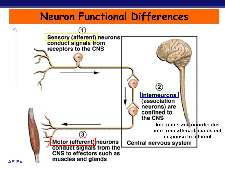 Neuron Functional Differences