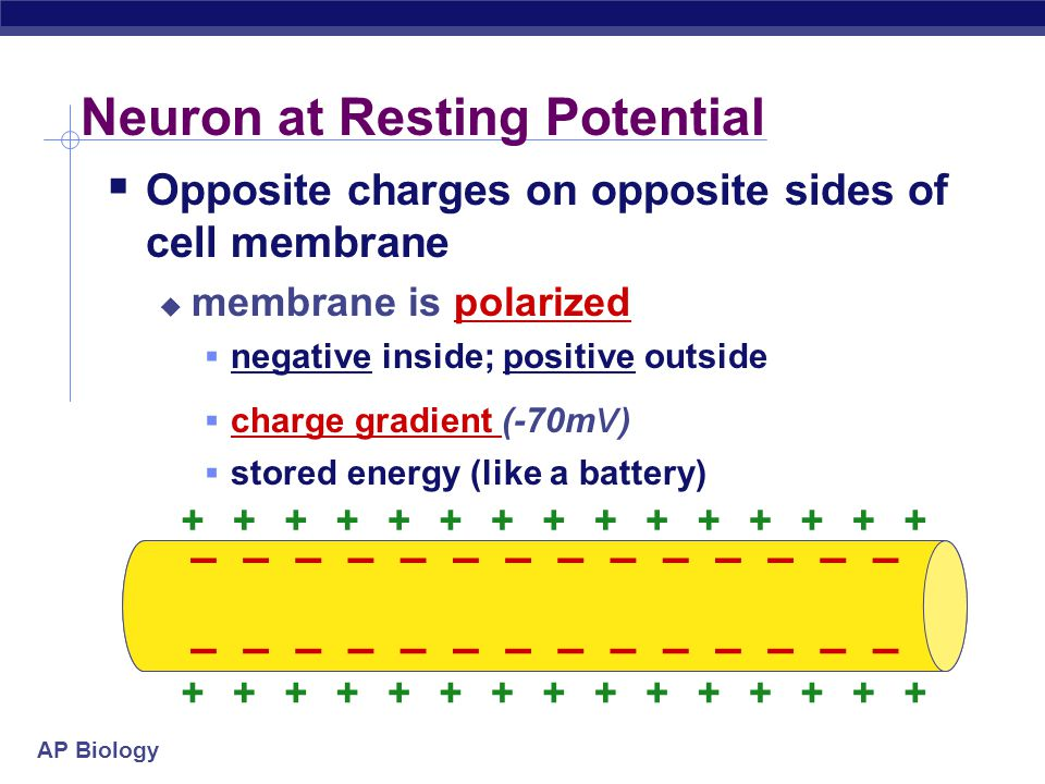 Neuron at Resting Potential