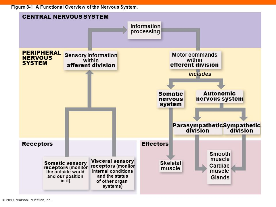 Central Nervous System Diagram Pearson Block And Schematic Diagrams
