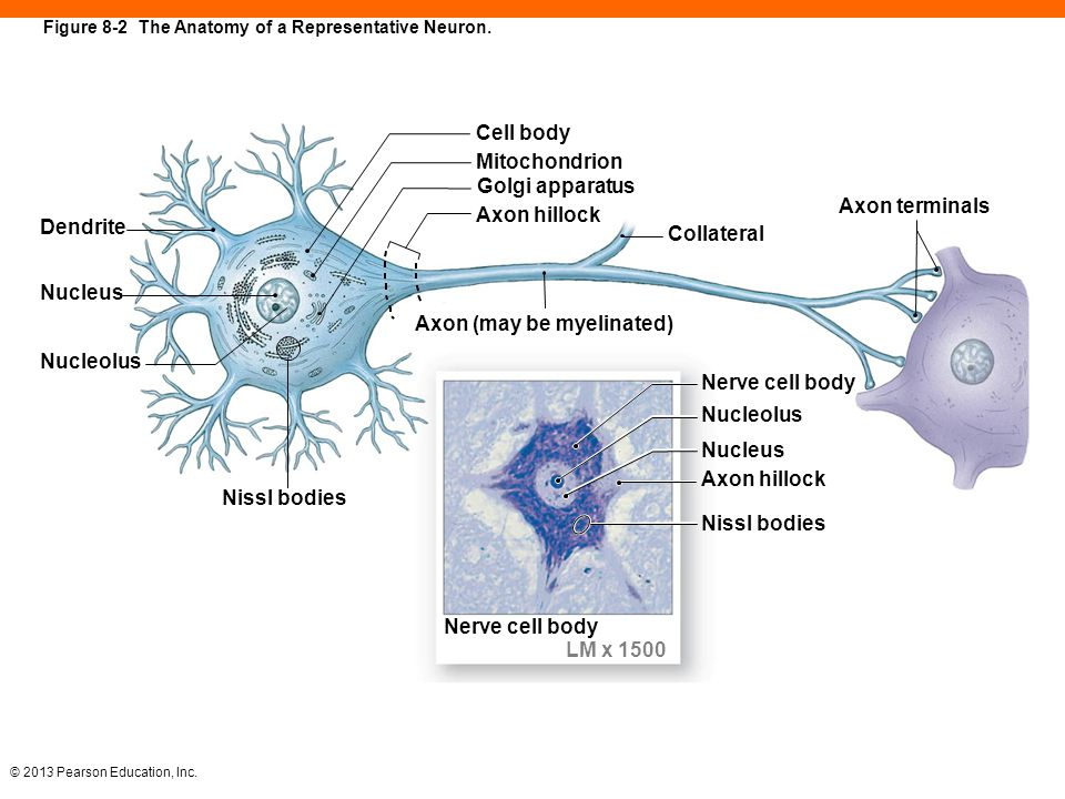 8 The Nervous System. - ppt download
