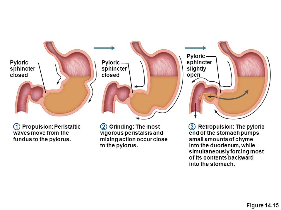 The Digestive System Functions Ppt Download