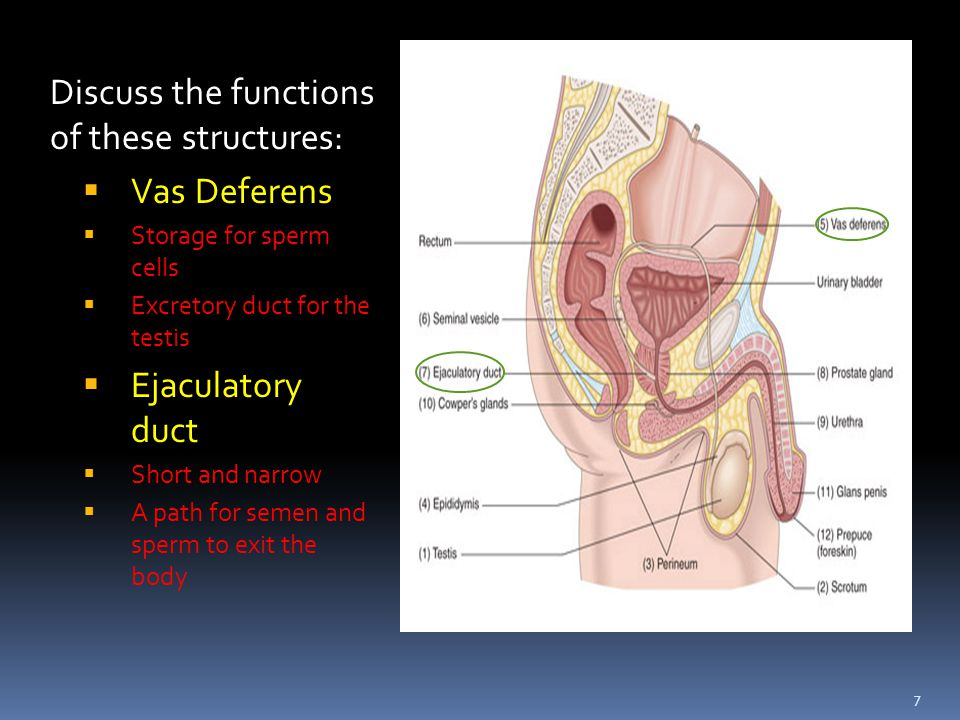 Essential Questions What Is The Function Of The Male Reproductive