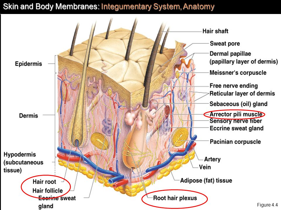 Chapter 4 Skin and Body Membranes Anatomy - ppt video online download