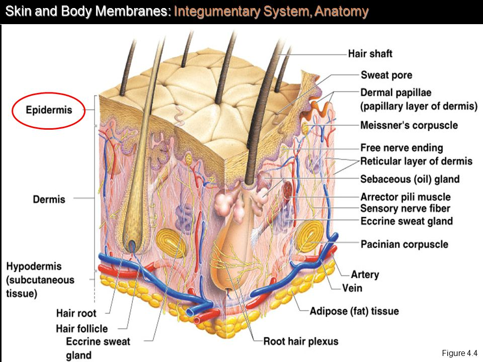 Chapter 4 Skin And Body Membranes Anatomy Ppt Video Online Download