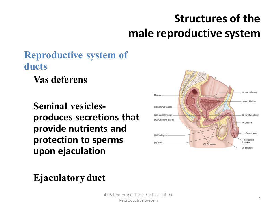 Structure where sperm from the epidiymis to the urethra