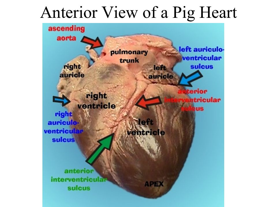 Famous Pig Heart Anatomy Photos Anatomy And Physiology Biology