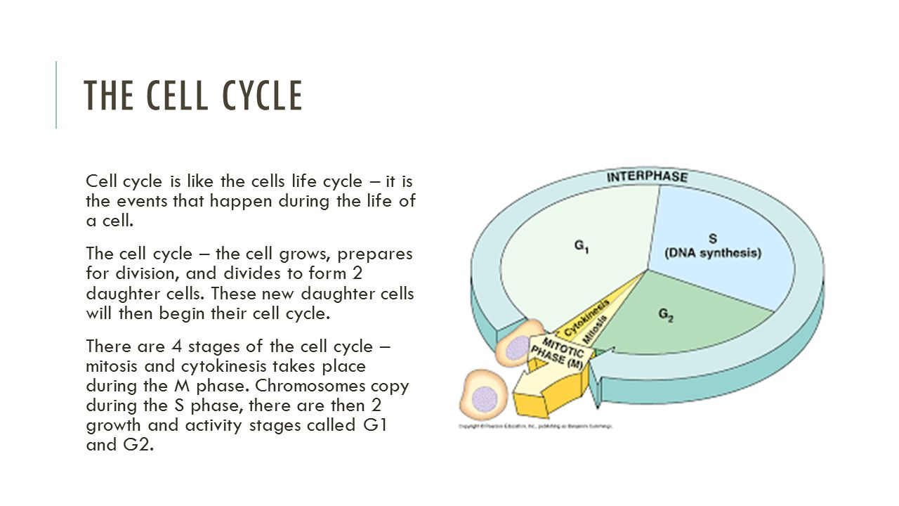 What is the interphase, or the most important part of the cell cycle